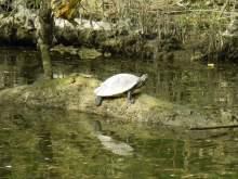 Schildkröte auf der Kößnach